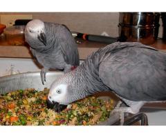 Afrikai szürke papagáj elfogadásra