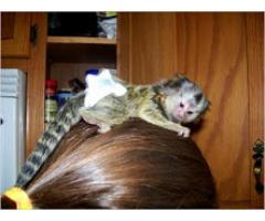 Baba selyemmajom majom elfogadásra